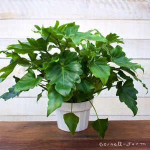 Philodendron 'Little Hope' (Thaumatophyllum selloum 'Little Hope') 6in