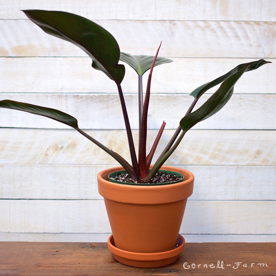 Philodendron 'Congo Rojo' 6in