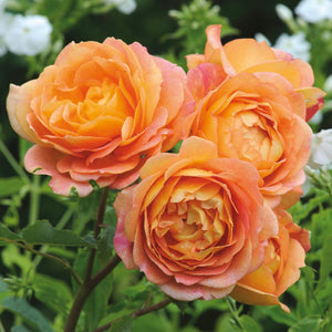 Rose 'Lady of Shalott'