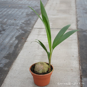 Coconut Palm 10in