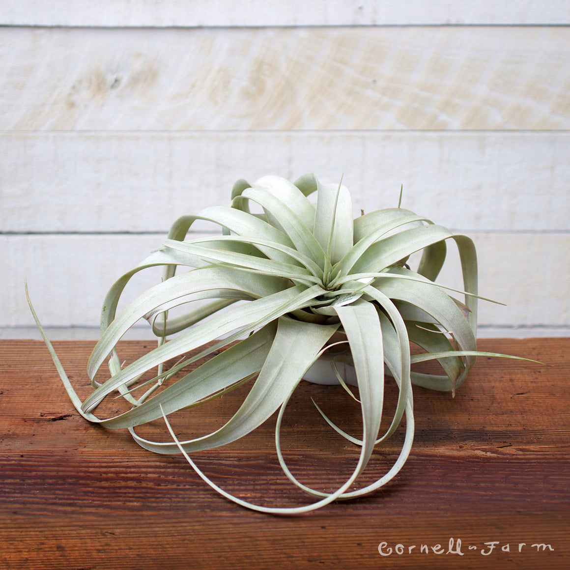 Xerographica Airplant (Tillandsia xerographica)