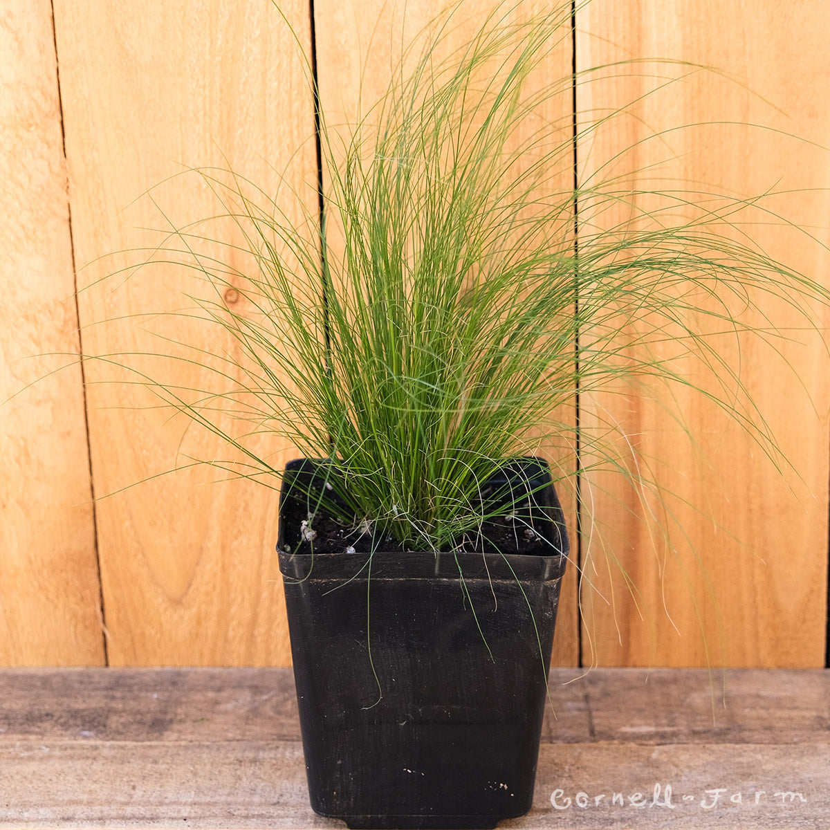Nassella tenuissima 1 gal Mexican Feather Grass Stipa