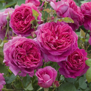 Rose 'Young Lycidas'