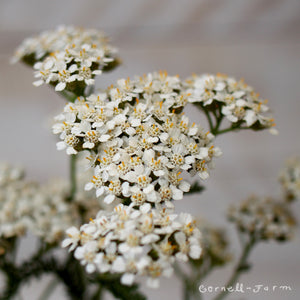 Achillea millefolium 1 gal Common Yarrow