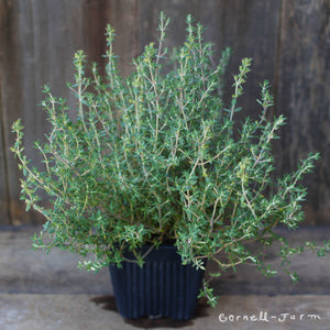 "Thymus Orange Scented 4"" Thyme"