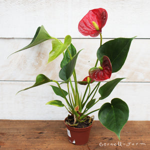 Anthurium 'Red Flowering' 2""
