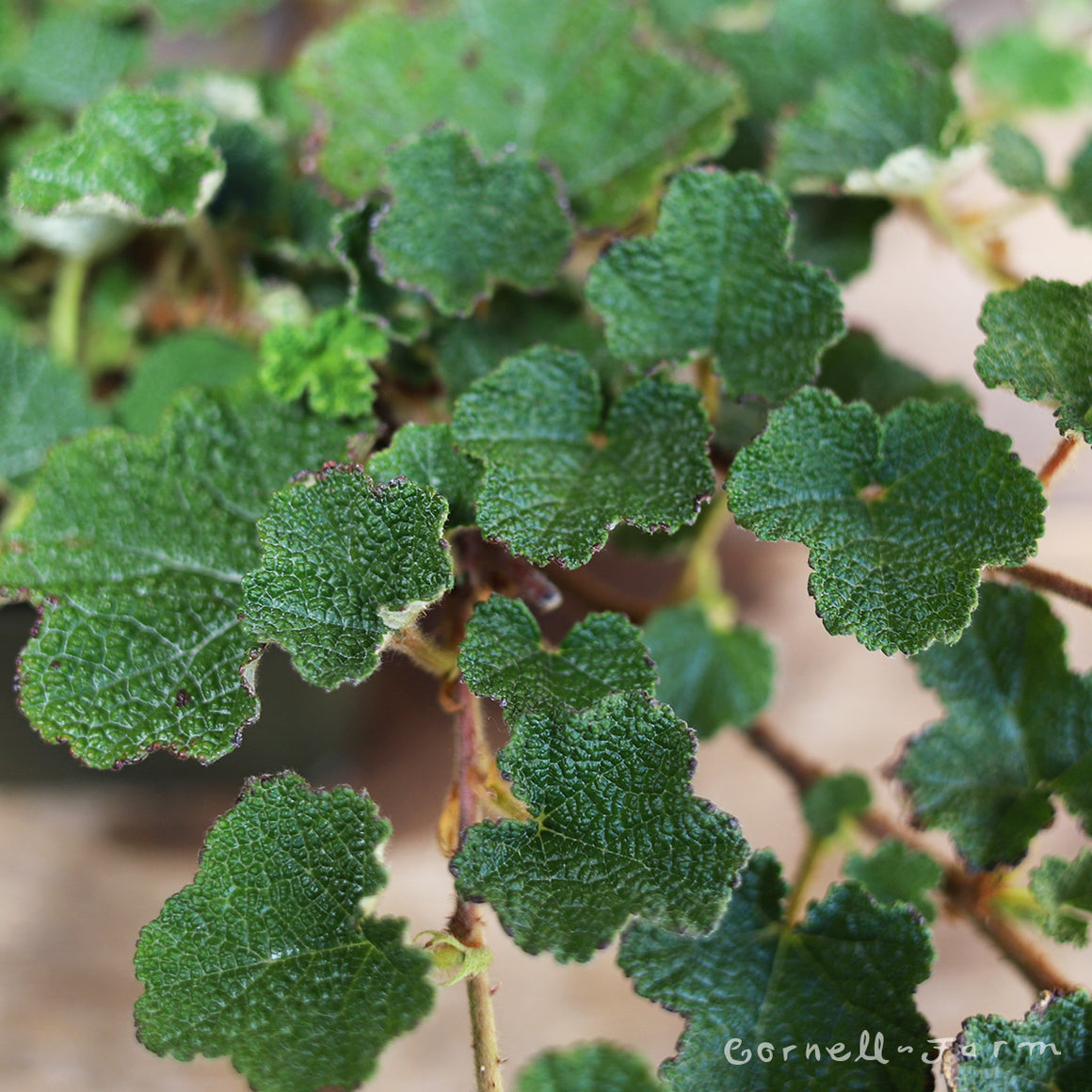 Rubus c. Emerald Carpet 4''