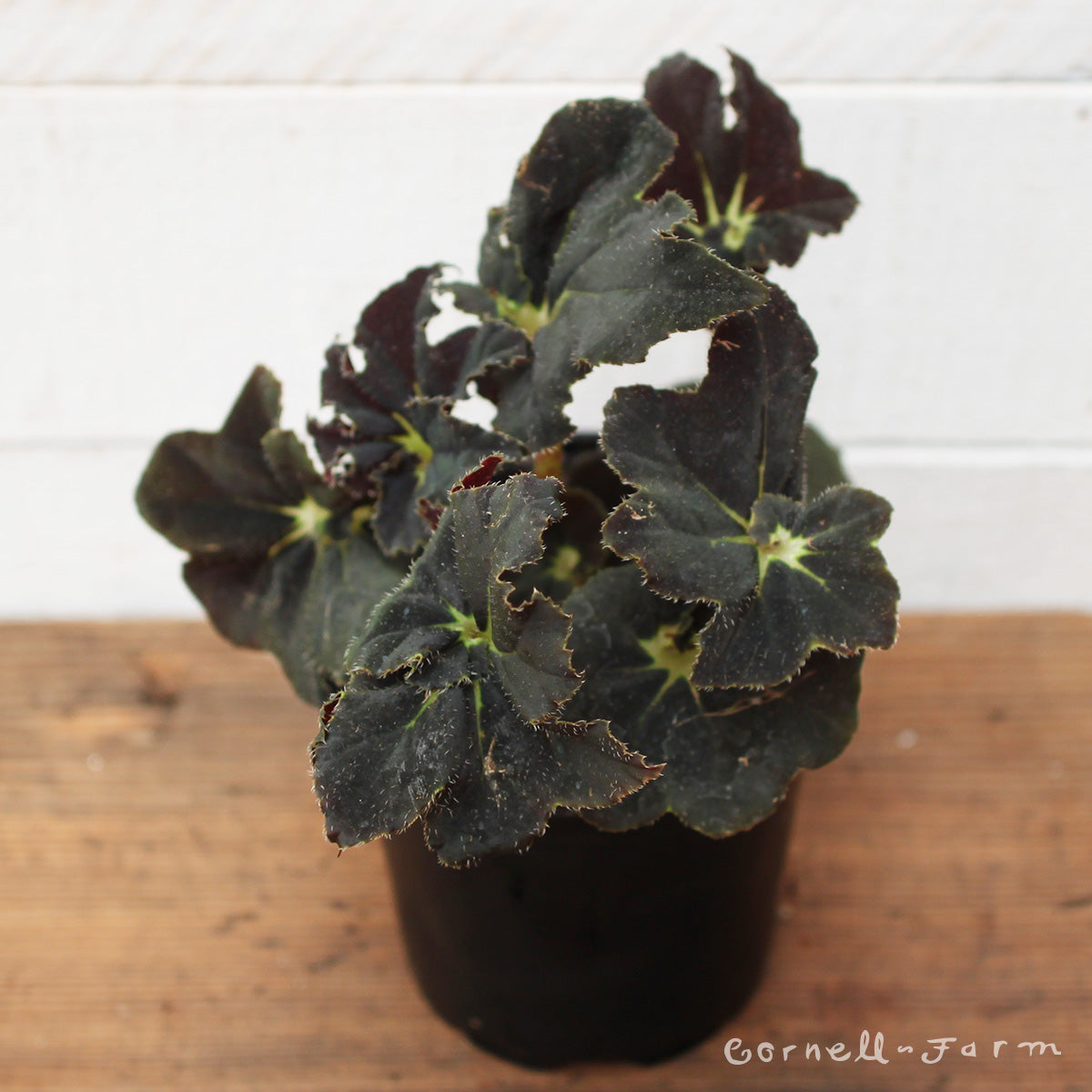 Begonia rhizomatous 4in Midnight