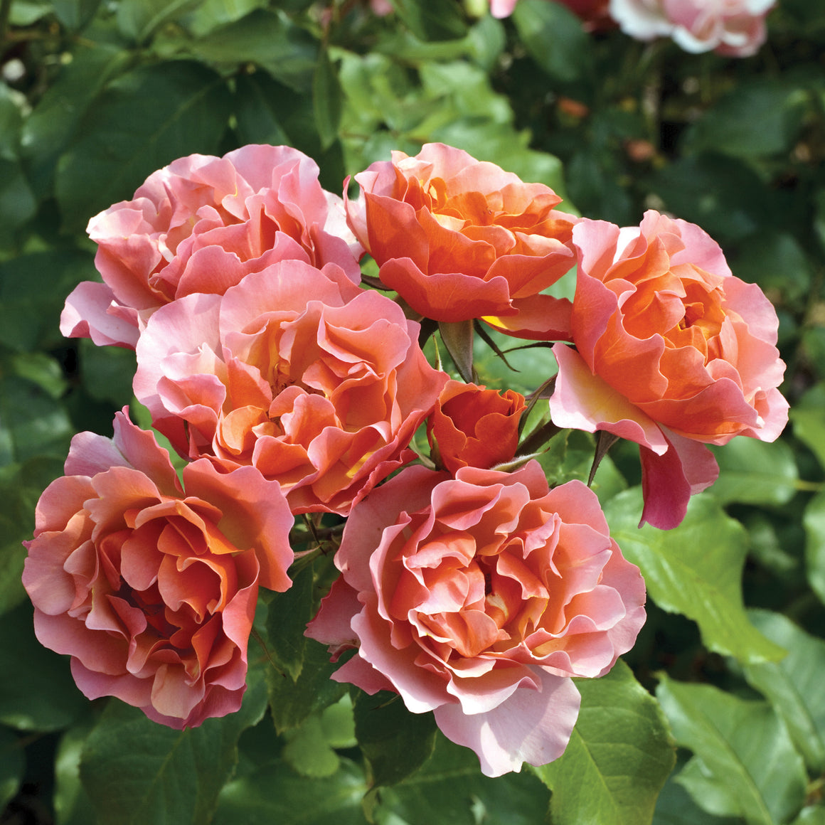 Rose 'Tequila Supreme'