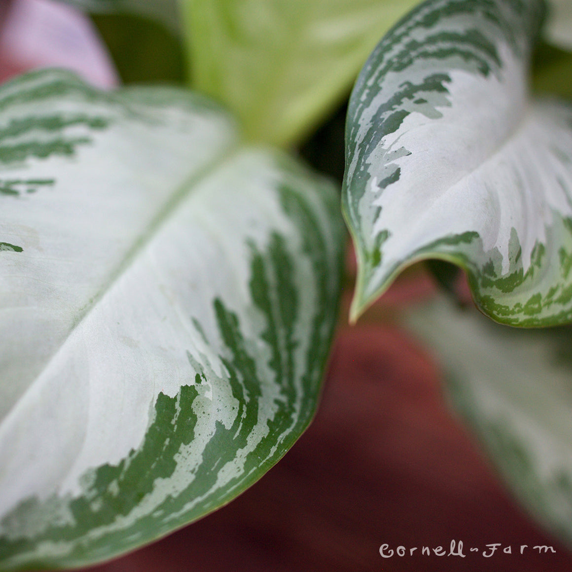 Aglaonema Silver Bay 6in