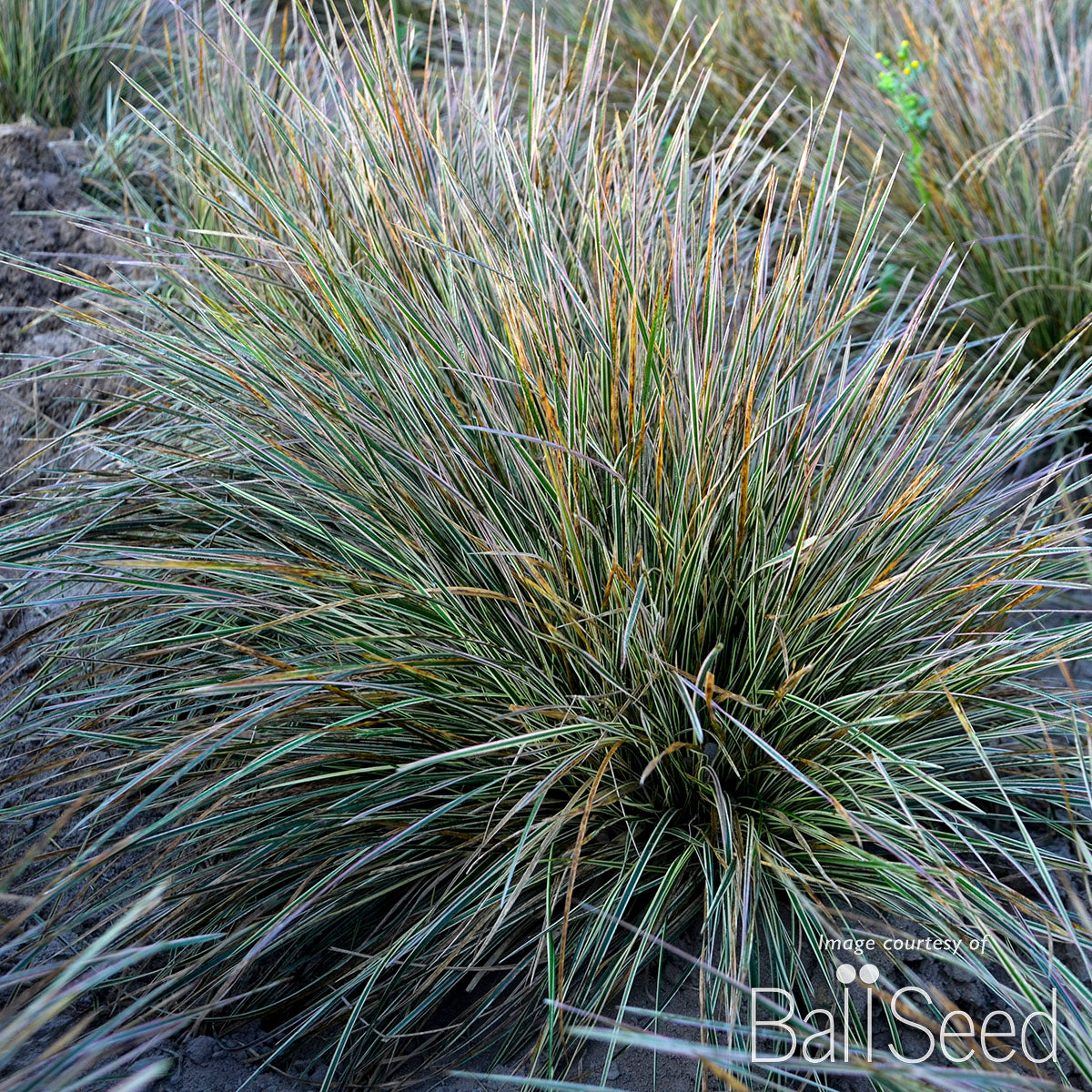 Deschampsia c. Northern Lights Qrt.