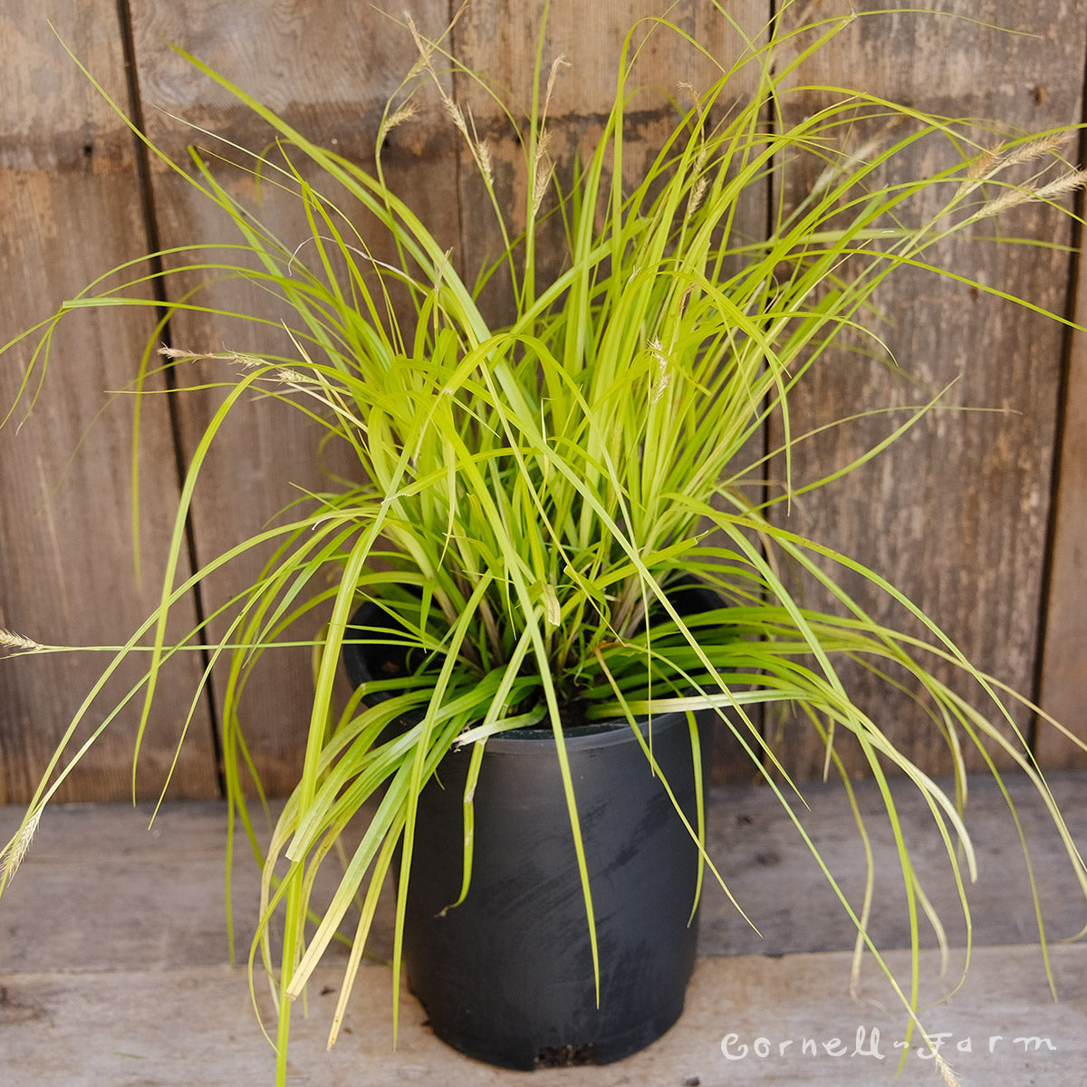 Carex EverColor Everillo 1gal