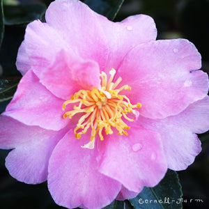 Camellia s. Pink-A-Boo 5 gal
