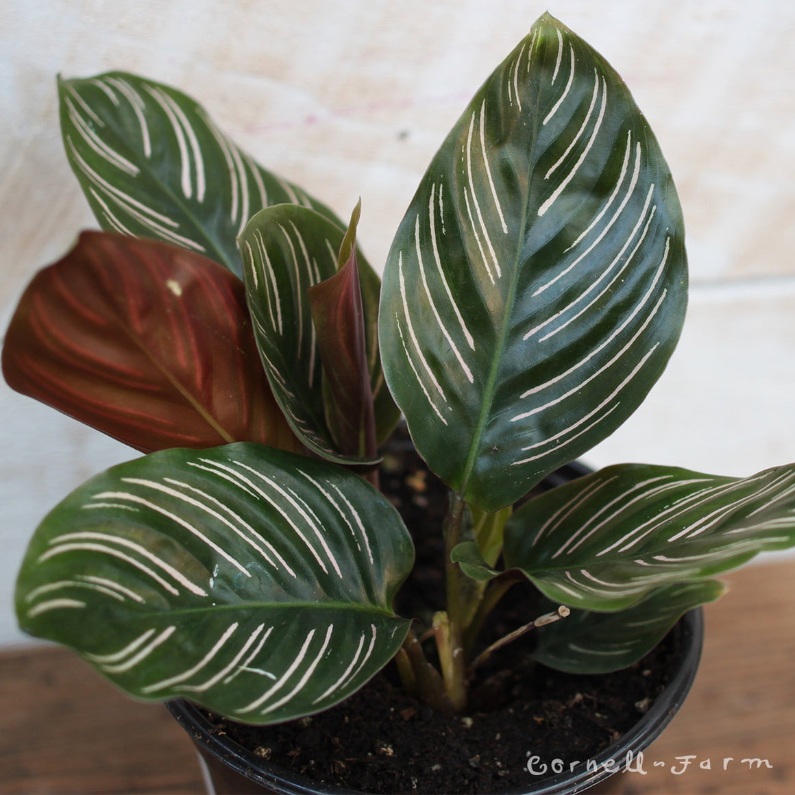 Calathea Ornata 4in