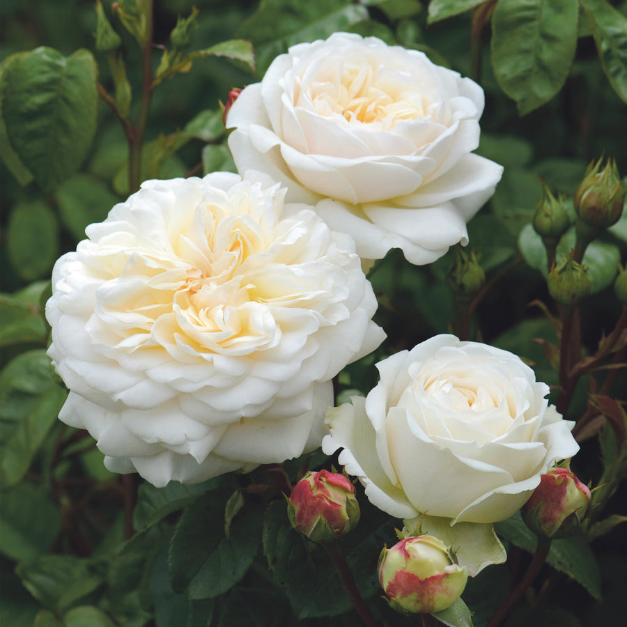 Rose 'Tranquillity'