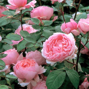 Rose 'Brother Cadfael'