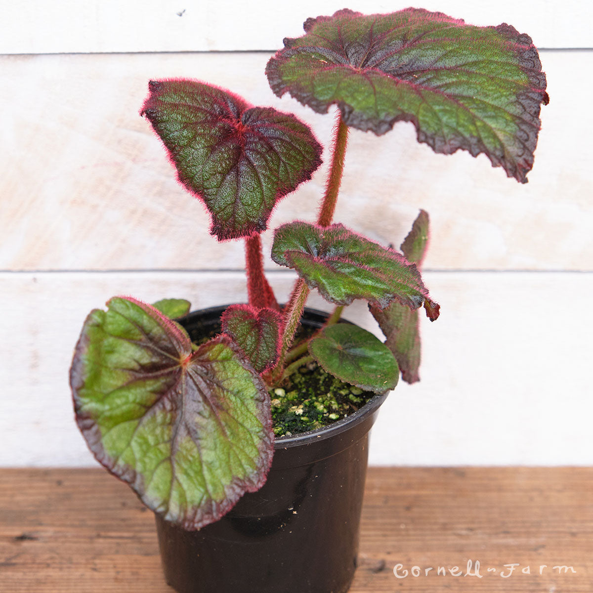 Begonia rex 4in Curly Fireflush