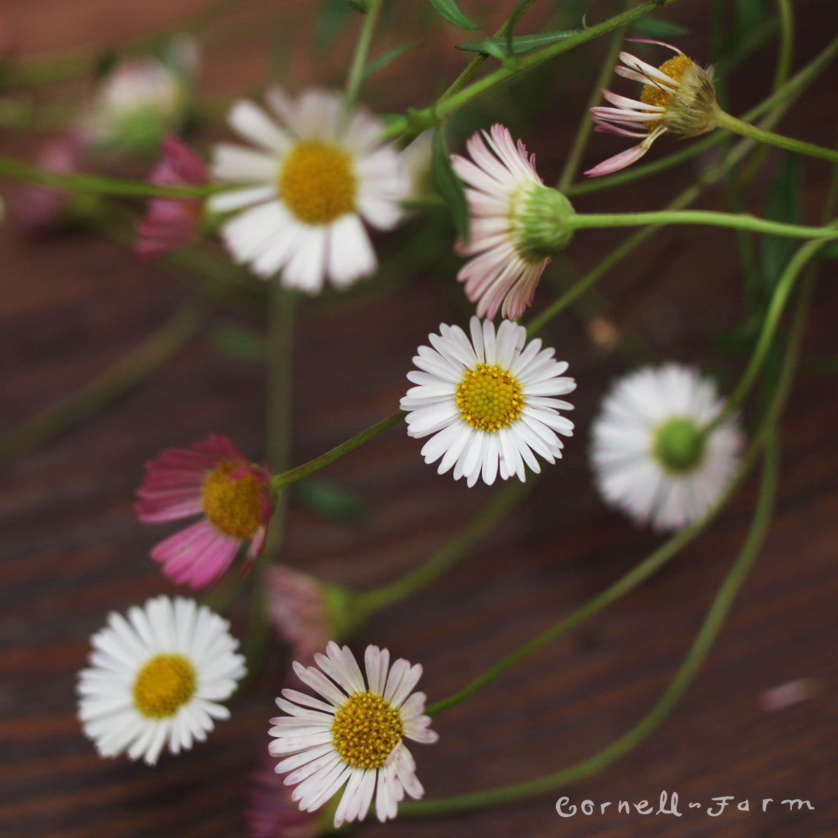 Erigeron Profusion 4in