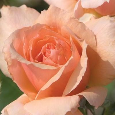 Rose Apricot Candy 5 gal