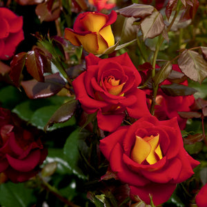 Rose 'Ketchup and Mustard'