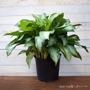 Chinese Evergreen 'Silver Bay' (Aglaonema 'Silver Bay') 10in