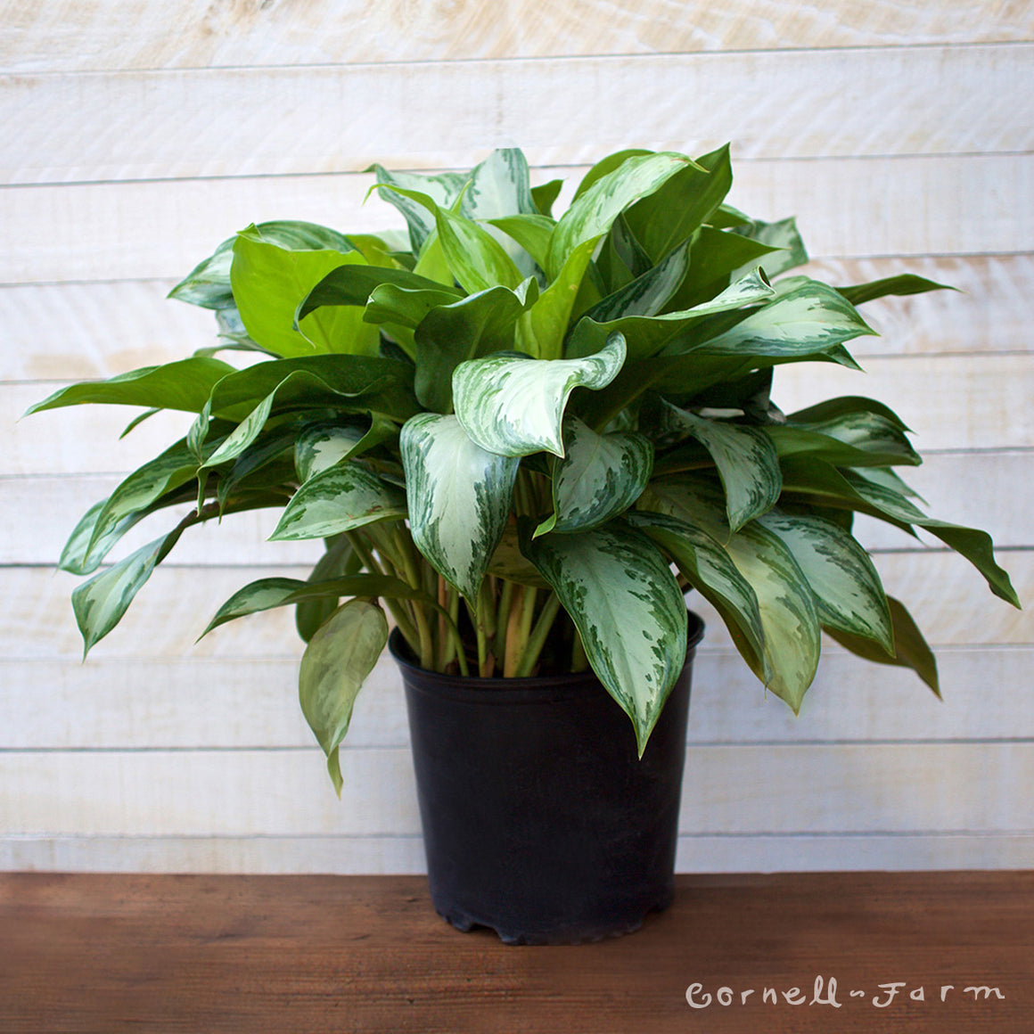 Aglaonema 'Silver Bay' 10in