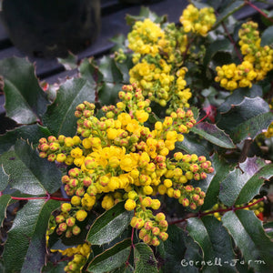 Mahonia aquifolium 1 gal Oregon Grape