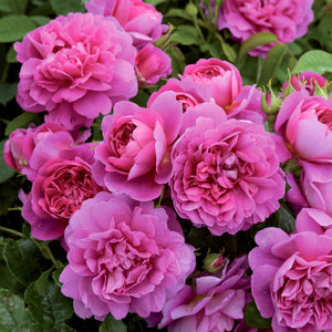 Rose 'Princess Anne'