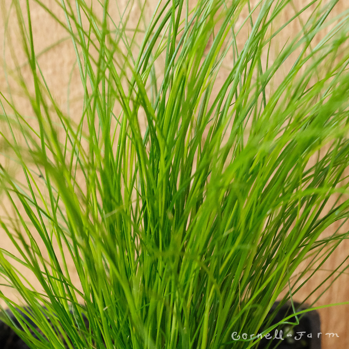 Nassella tenuissima 4in Mexican Feather Grass Stipa