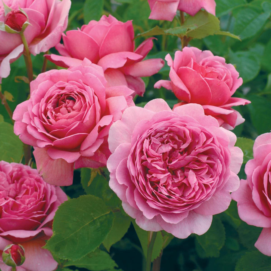 Rose 'Princess Alexandra of Kent'