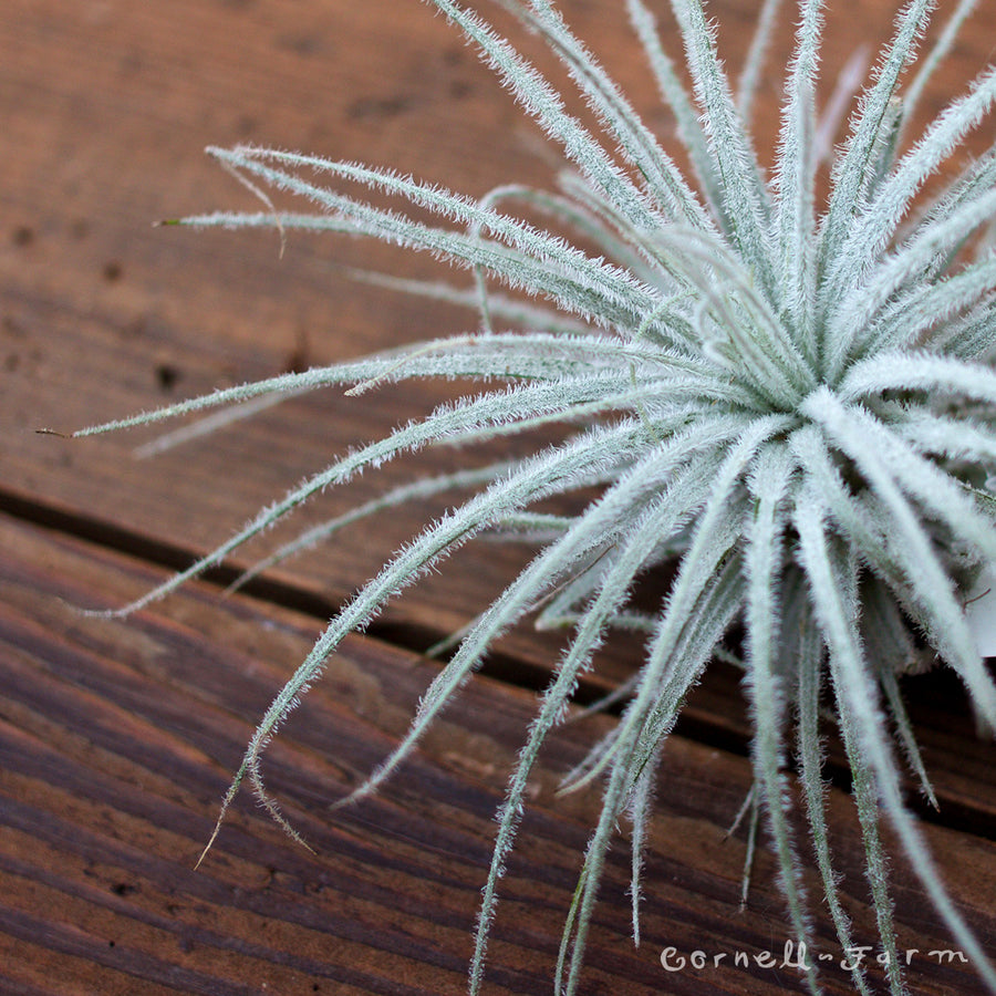 Tectorum Airplant (Tillandsia tectorum)