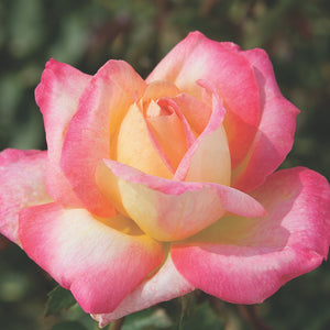 Rose 'Love and Peace'