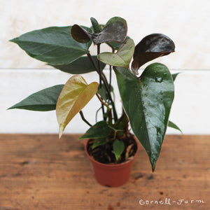 "Anthurium 'Black Flowering' 2"" HOLIDAY"