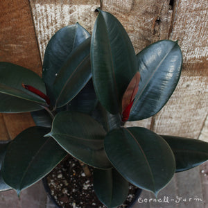Ficus Elastica 'Burgundy Rubber Tree' 10""