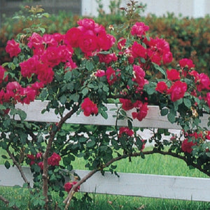Rose 'Blaze Improved Climber'