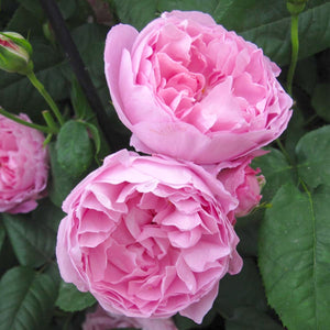 Rose 'Mary Rose'