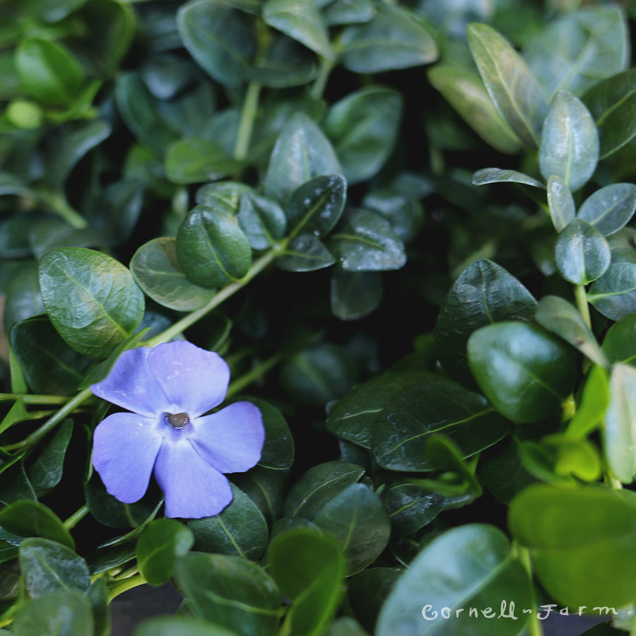 Vinca minor Bowles 4''