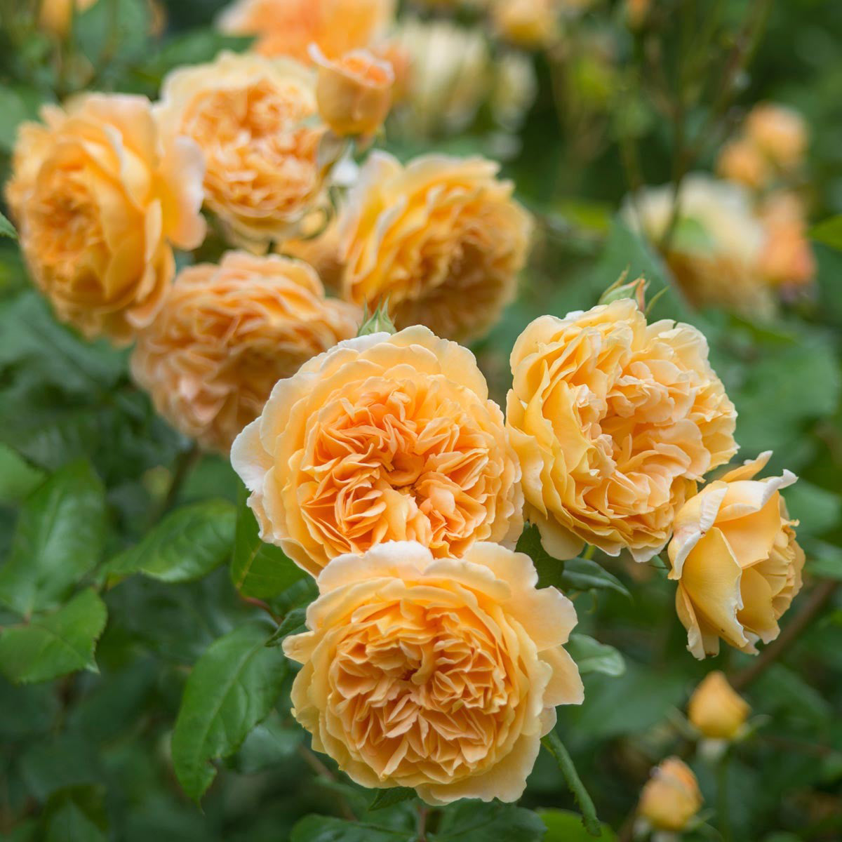 Rose Crown Princess Margareta Climber 5 gal David Austin