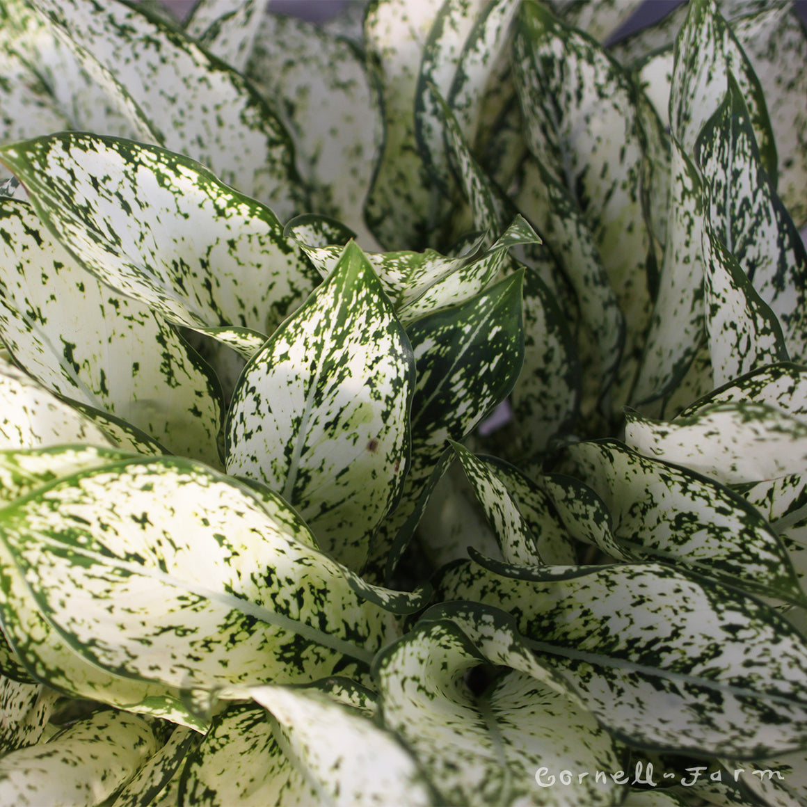 Aglaonema 'Spring Snow' 10in