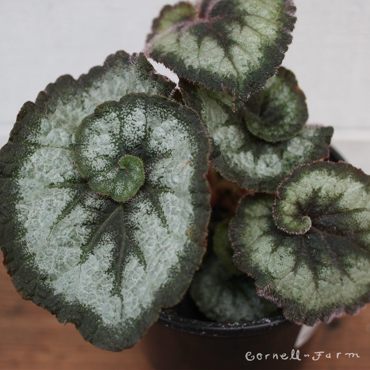 Begonia rex 4in Escargot