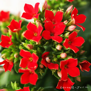 Kalanchoe bl. 'Red' 4""