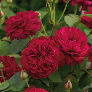 PREORDER Rose Darcey Bussell