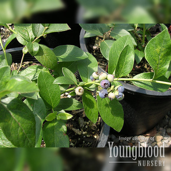 Blueberry Vaccinium Patriot 5 gal