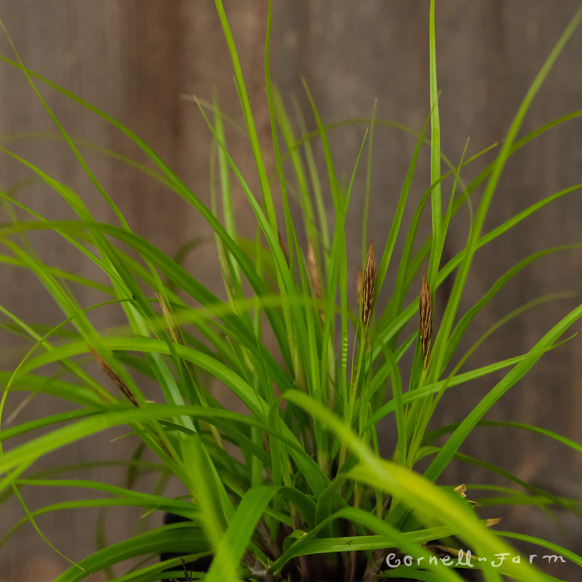 Carex EverColor Everillo 4in