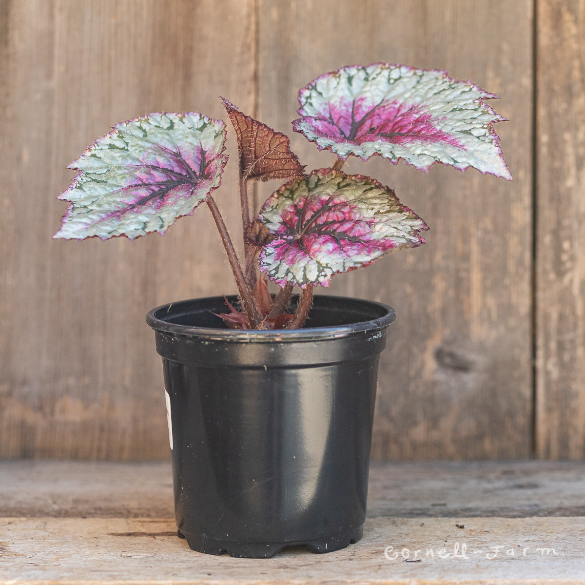 Begonia rex 4in Jurassic Pink Splash
