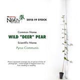 "Wild ""Deer"" Pear (Pyrus Communis)"