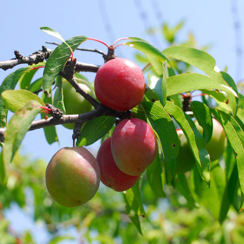 Chickasaw Plum (Prunus angustifolia)