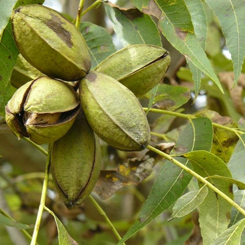 Native Pecan (Carya illinoinensis)