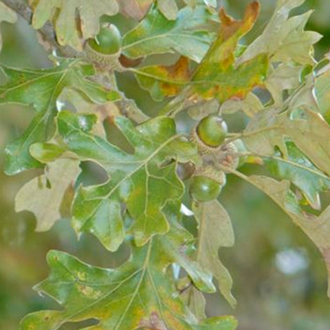 Post Oak (Quercus stellata)
