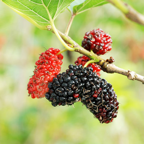 Red Mulberry (Morus rubra)